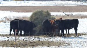 Just some cows. Hanging out. Eating hay. The cow life.